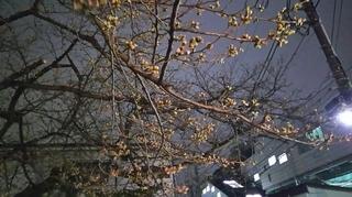 弘明寺の桜のつぼみ.JPG